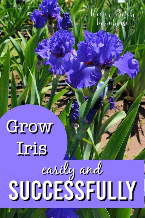 blue iris flower with text overlay, Grow Iris easily and Successfully, Flower Patch Farmhouse