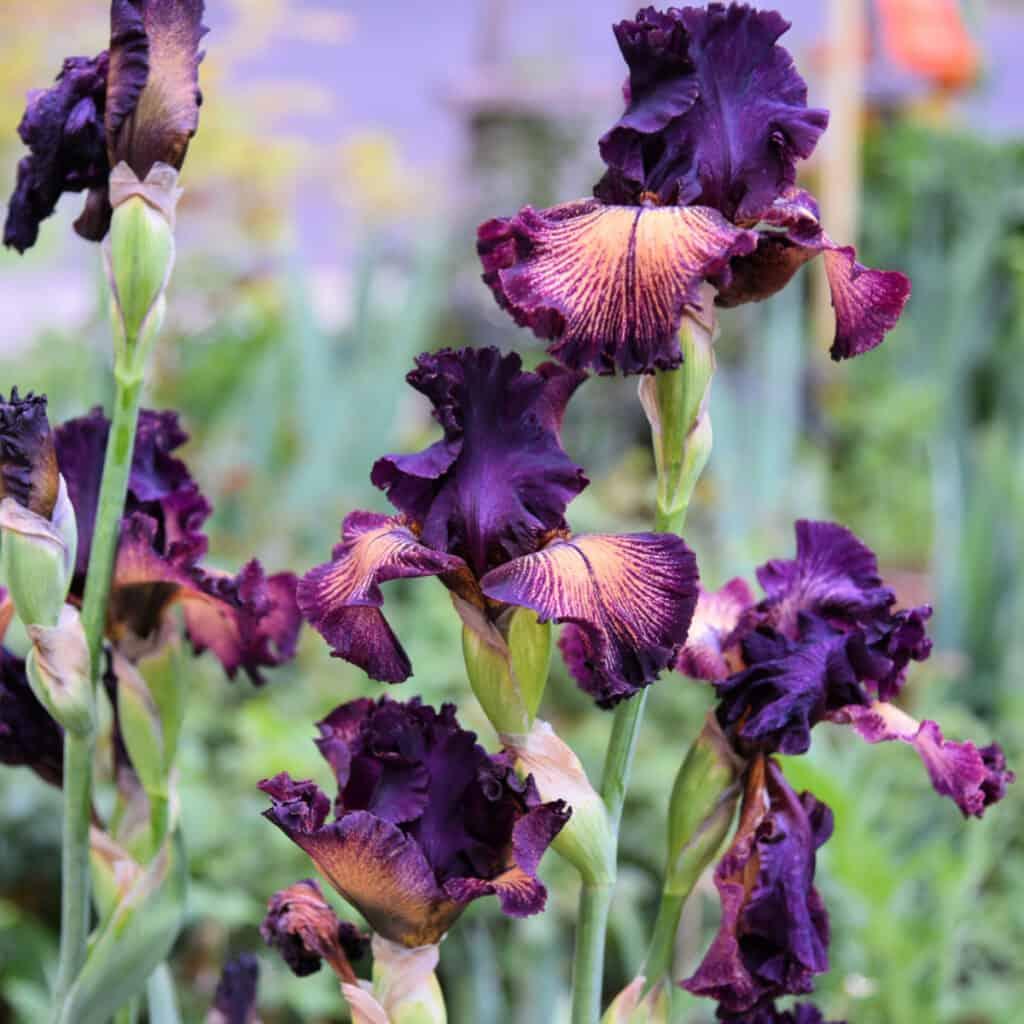purple iris, how to plant iris, flower patch farmhouse