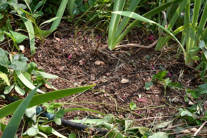 dirt prepared for planting Iris rhizomes
