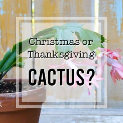 thanksgiving cactus with text overlay flower patch farmhouse