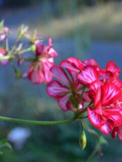 how to overwinter geraniums, ivy geranium