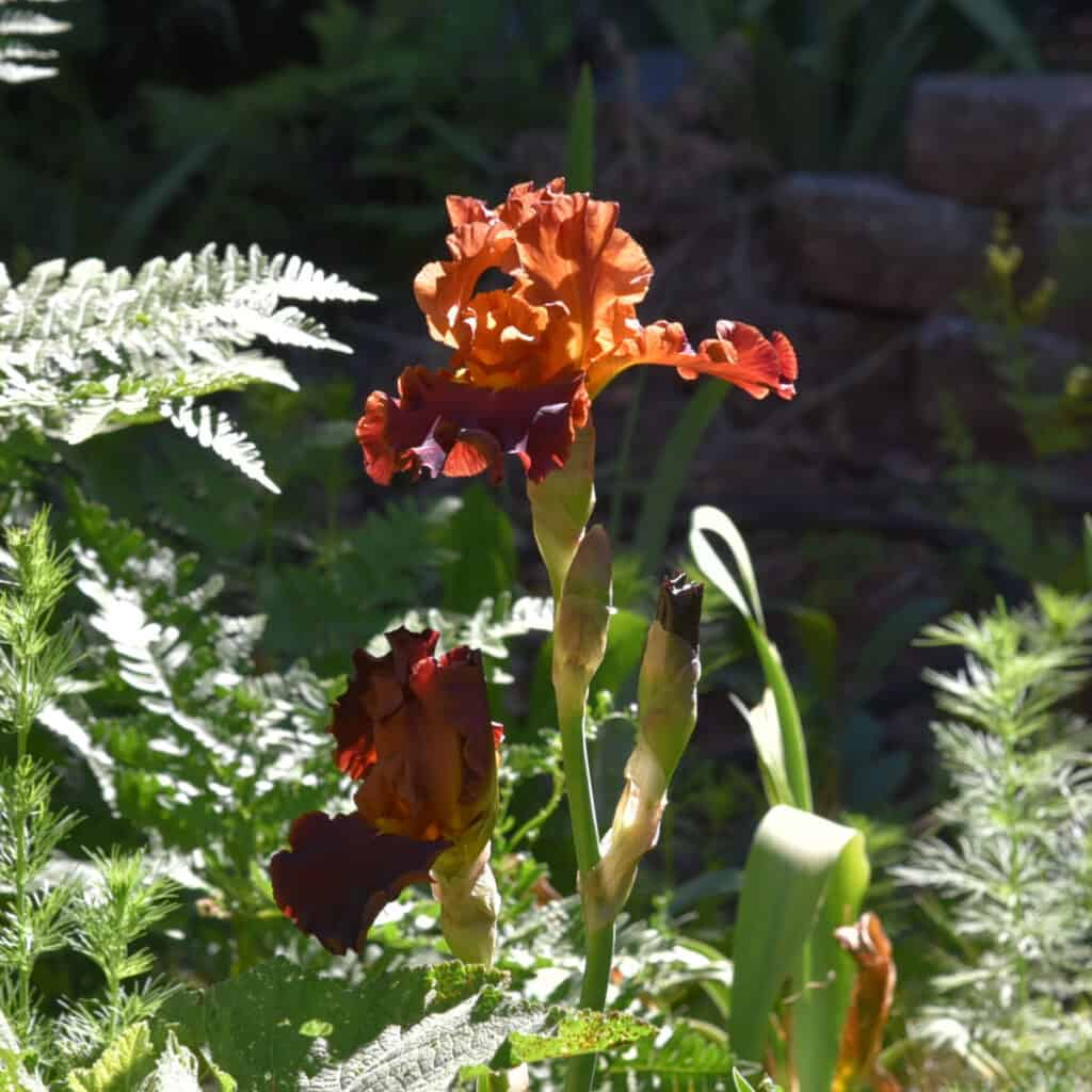 Bearded Iris in rusty red and orange colors