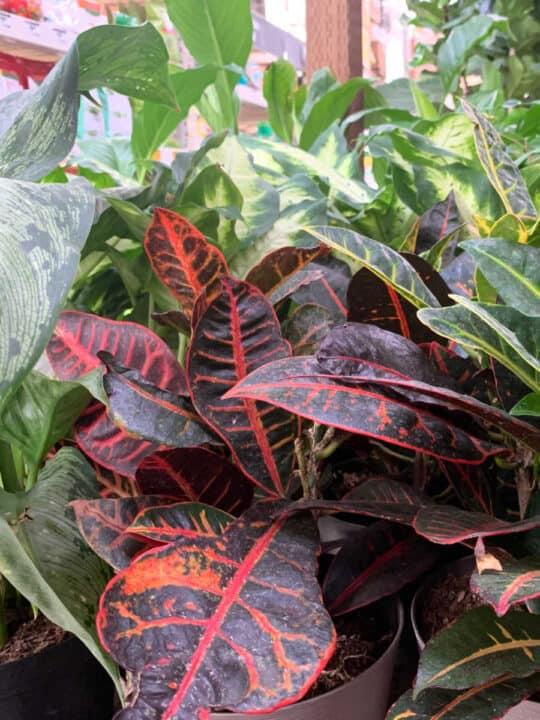 houseplants, get rid of fungus gnats