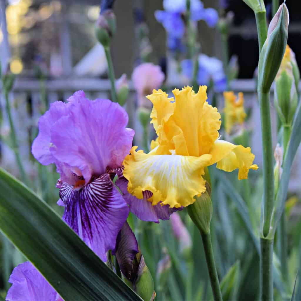 Yellow and Purple Iris in garden, flower Patch farmhouse