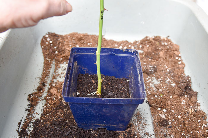 Rooted rose cutting set into potting soil