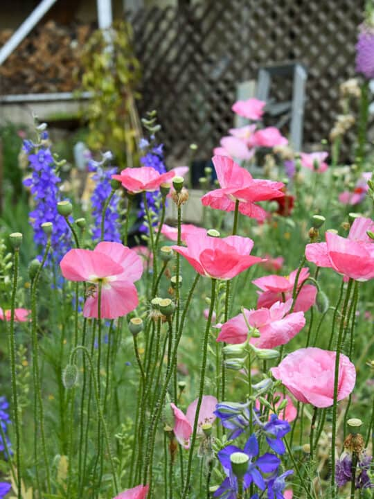 pink poppies and larkspur in the garden