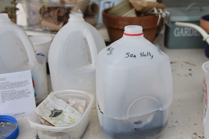 milk jugs turned into mini greenhouses for winter sowing seeds