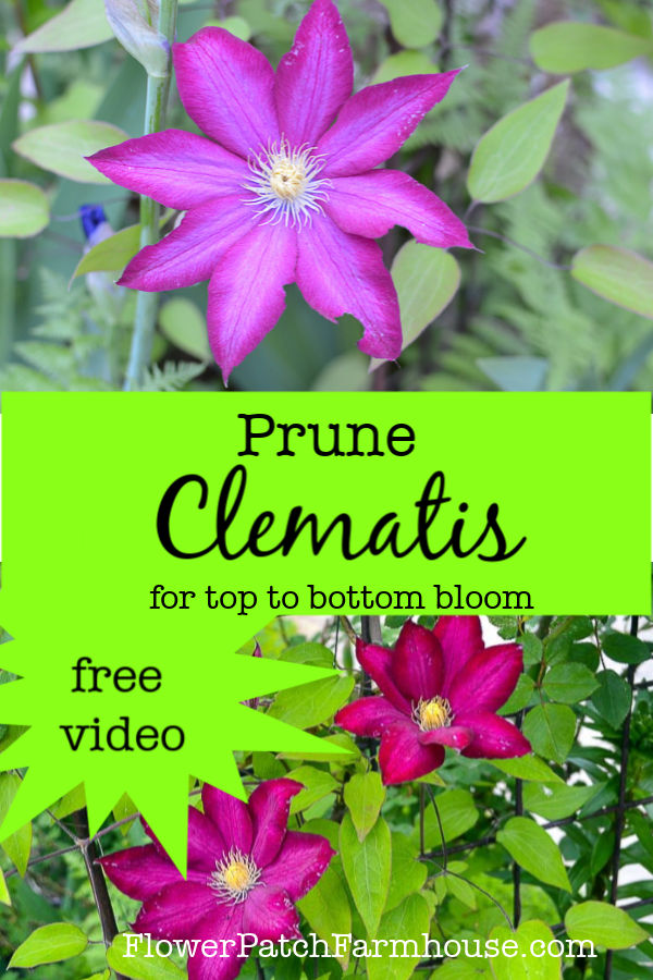 two clematis with text overlay, prune clematis for top to bottom bloom, free video.