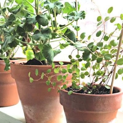 plants in terra cotta pots on windowsill