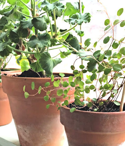 plants in terra cotta pots on windowsill