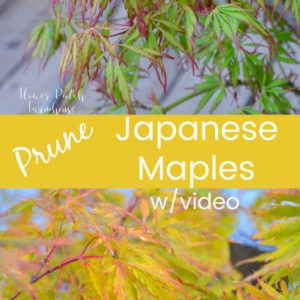Japanese maples in different colors, text overlay Prune Japanese maples w/video Flower Patch Farmhouse