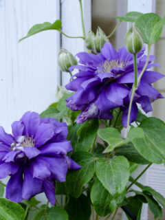 Franziska Maria clematis in bloom, Flower Patch Farmhouse