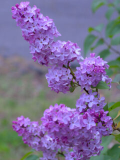 lilacs to prune