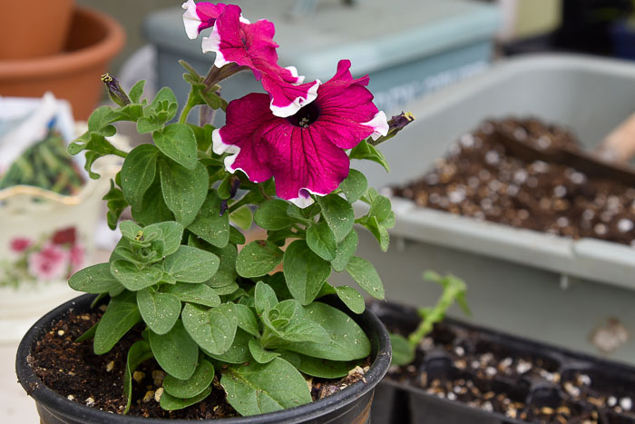 pink petunia to take cuttings to grow petunias from cuttings