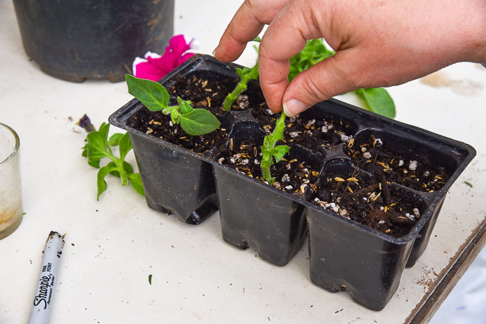 sticking petunia cutting into soil