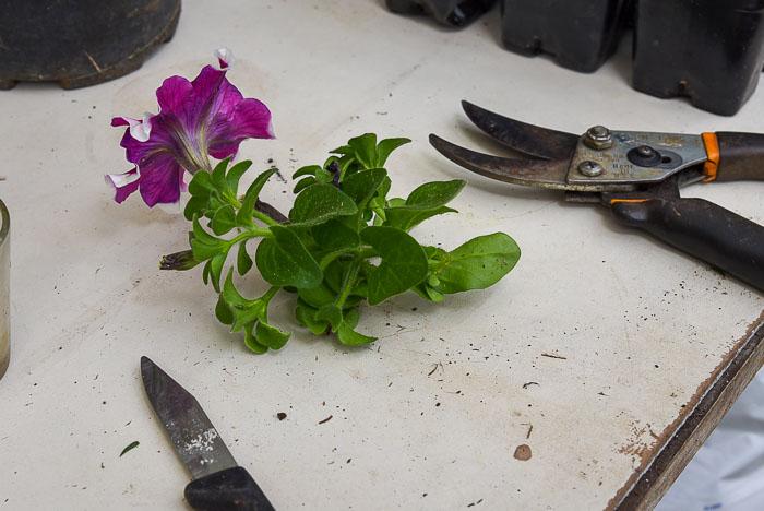 petunia cutting on potting bench