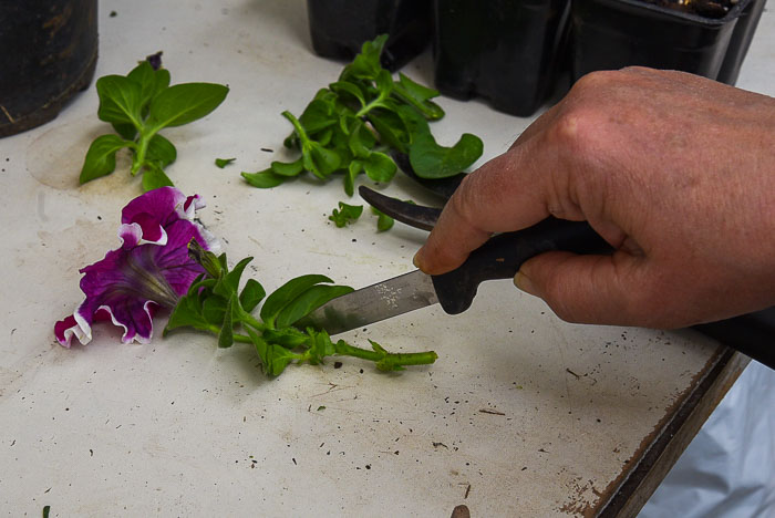 cutting leaves off petunia stem