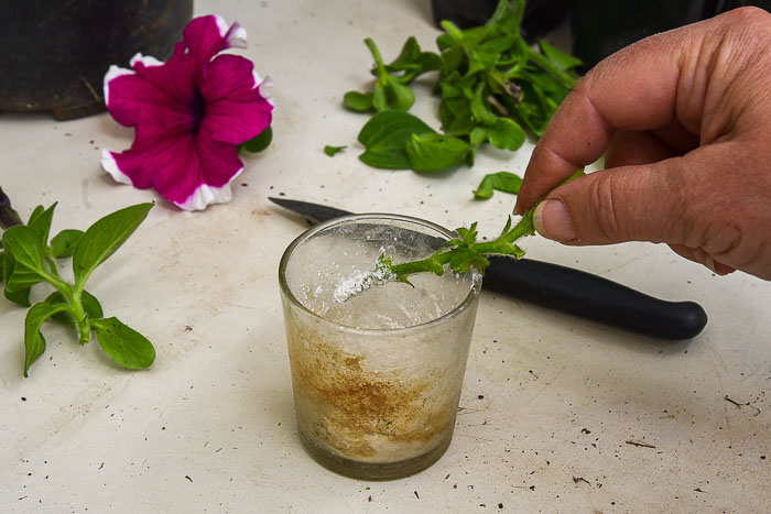 dipping petunia cutting into rooting hormone