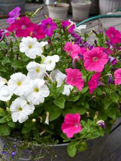 grow petunias from cuttings and fill a galvanized tub