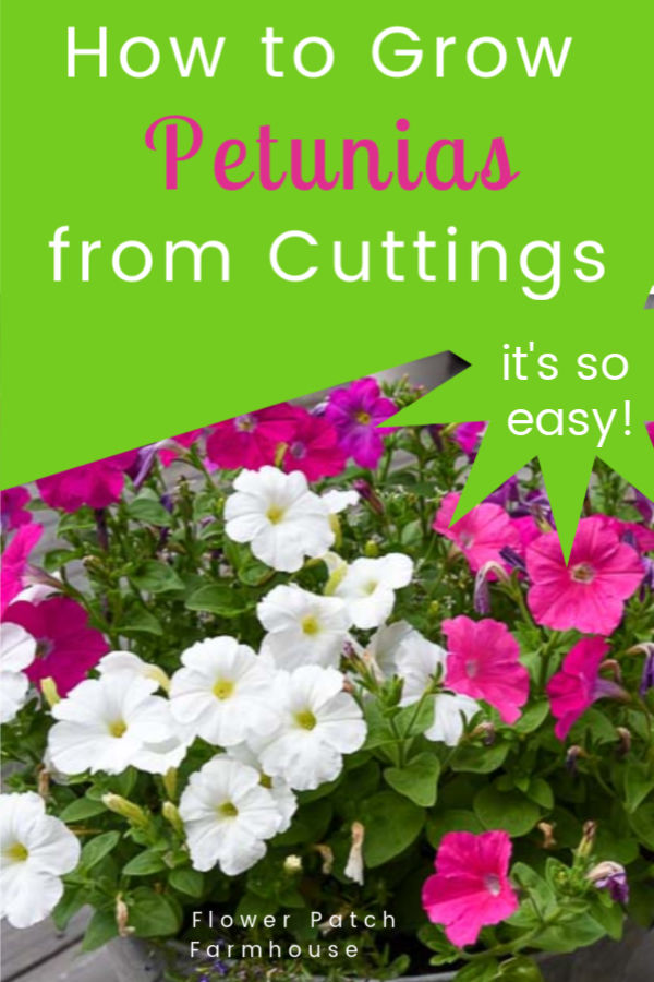 pink, white and fuchsia petunias in container