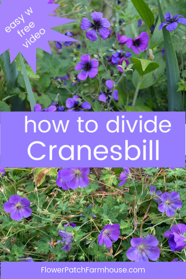 hardy geraniums with text overlay, How to Divide Cranesbill, easy w free video. FlowerPatchFarmhouse.com