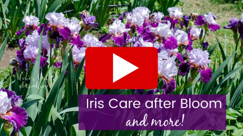 purple and white Iris in bloom, Iris care after bloom