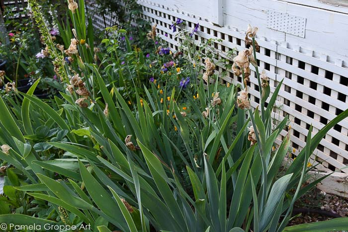 Bearded Iris that are done blooming