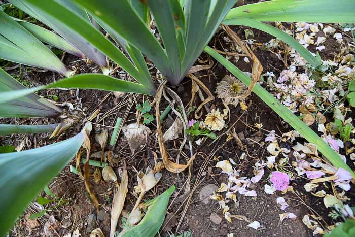 debris needing clean up at base of Iris
