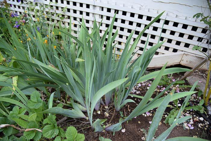 debris at base of Iris