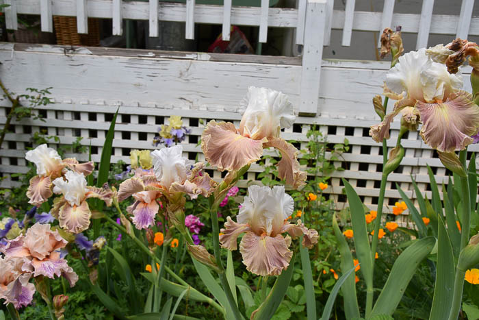 Bearded iris in bloom
