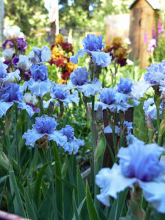 Blue Iris in the Secret Garden