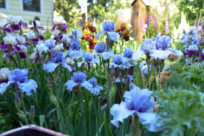 Blue Iris in the Secret Garden