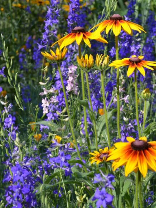 larkspur and black eyed susans, deadhead flowers