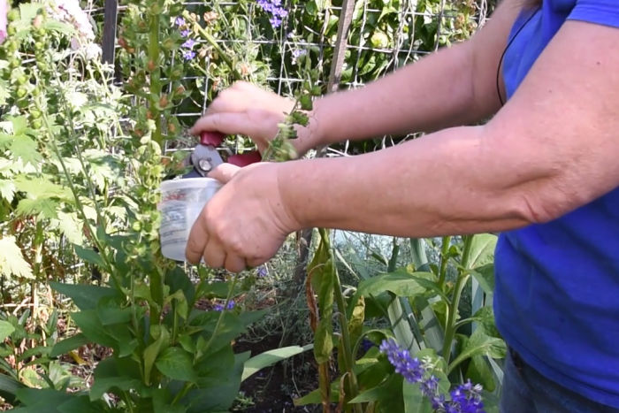 clipping foxglove seed head into a tub to collect seeds