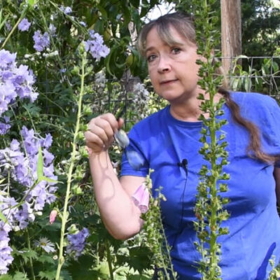 Pam at Flower Patch Farmhouse showing a foxglove ready to collect seeds from
