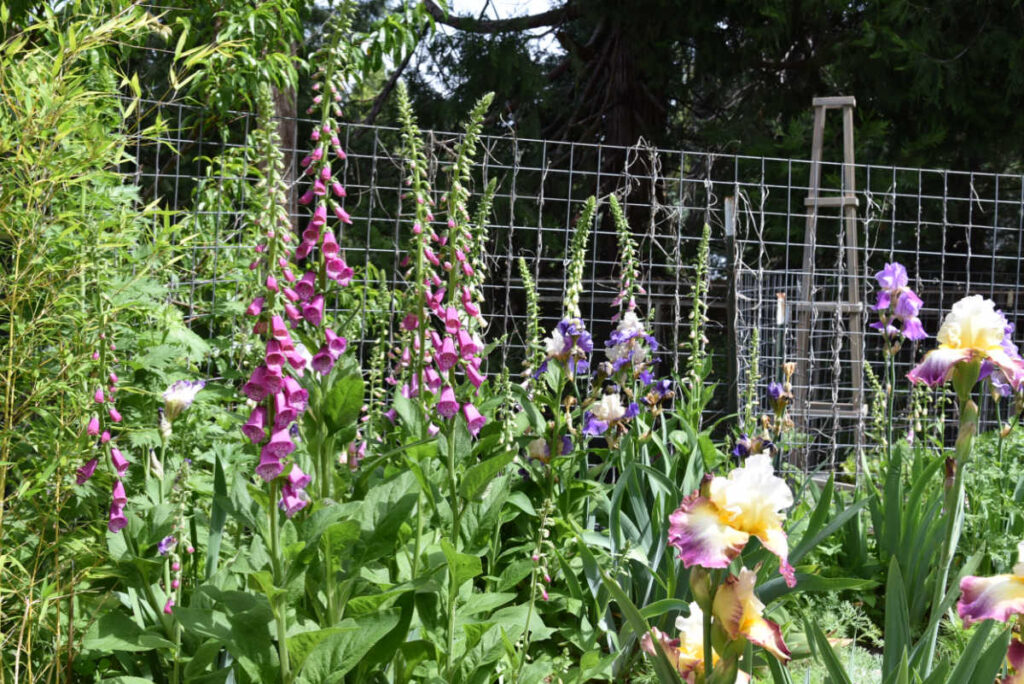 foxgloves in flower garden with iris