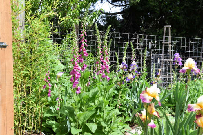foxgloves in spring at Flower Patch Farmhouse