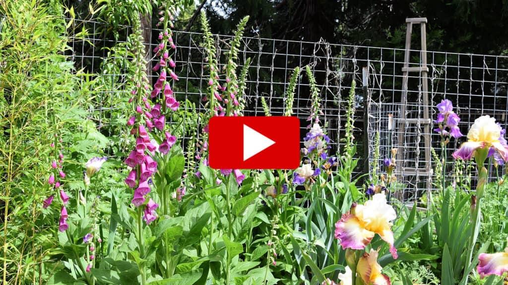 foxglove flowers plants with youtube watch arrow overlay