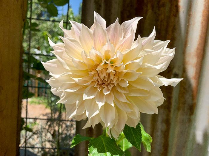 Cafe au Lait Dahlia in Secret Garden planted in a pot