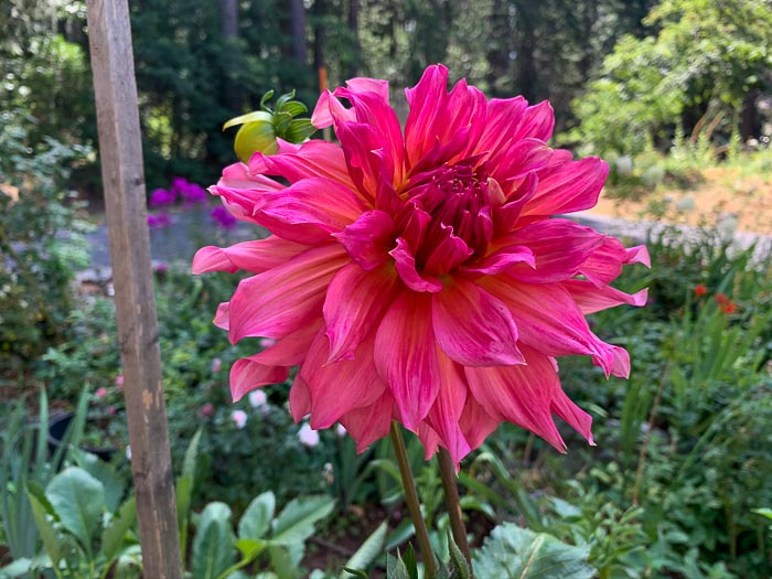 Islander Dahlia planted in a container