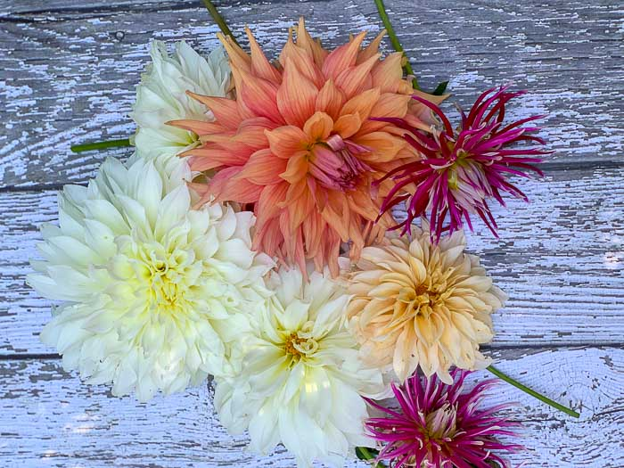 flat lay of an array of Dahlias grown in containers