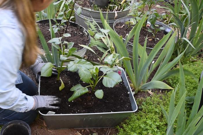placing 3 dahlias in pot