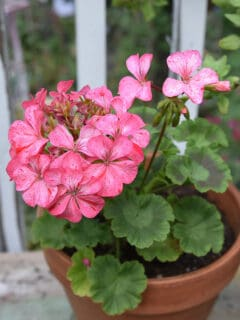 pink perlargonium aka geranium