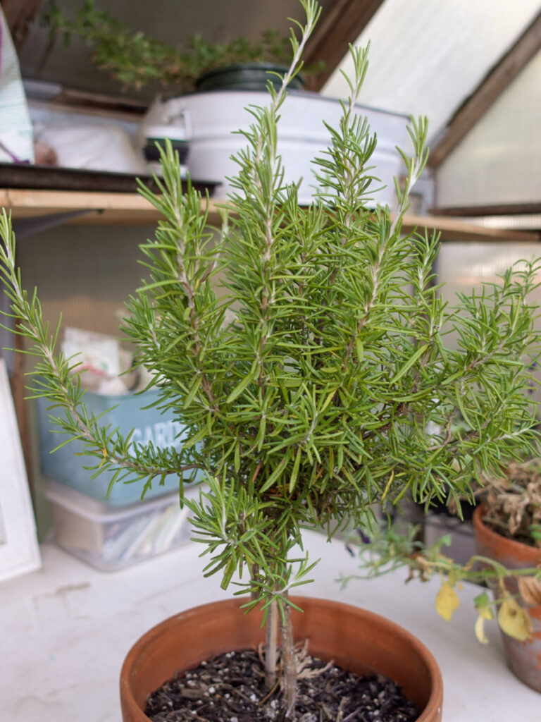 Rosemary plant ready to be pruned