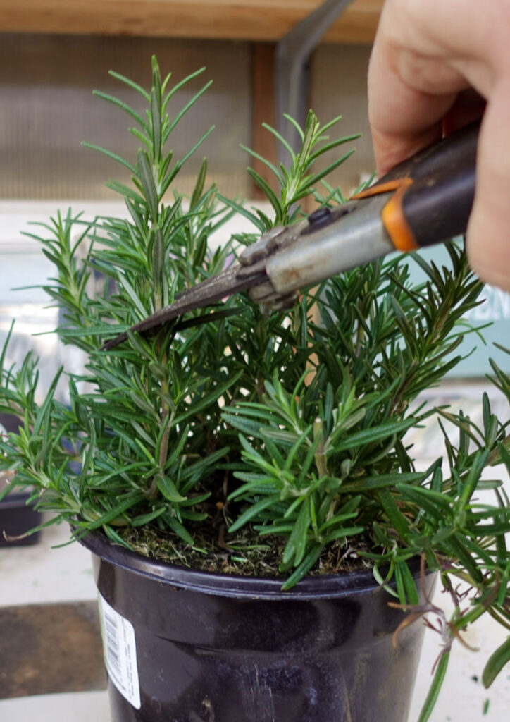 taking cuttings with pruners from a rosemary plant