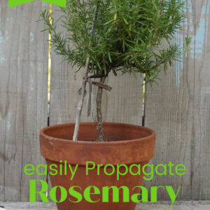 potted rosemary in topiary shape with text overlay, easily Propagate Rosemary, Flower Patch Farmhouse