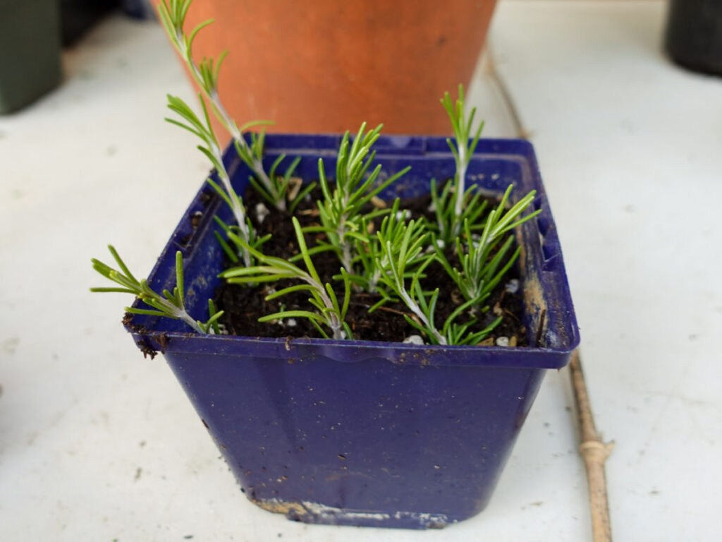 four inch pot filled with Rosemary cuttings