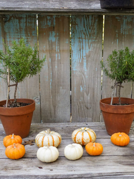 Propagate rosemary from cuttings, rosemary topiaries on potting bench