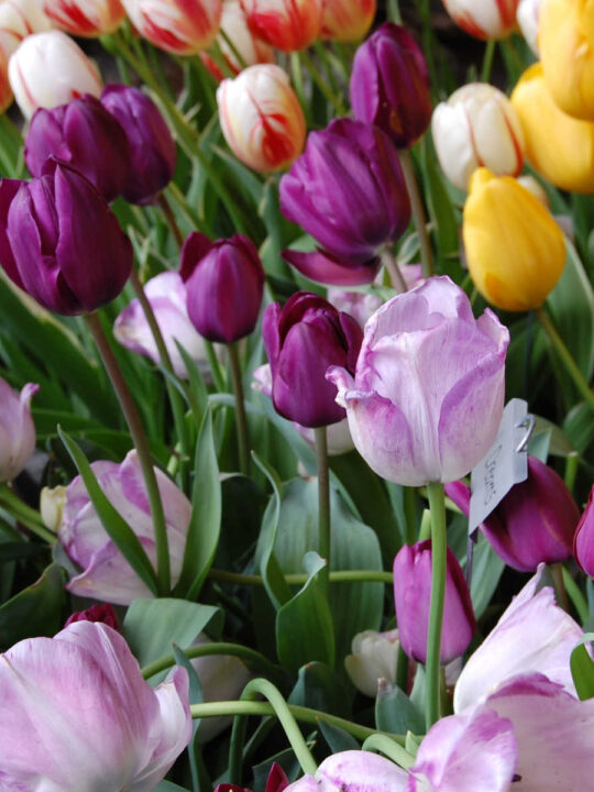 purple, lavender and yellow tulips