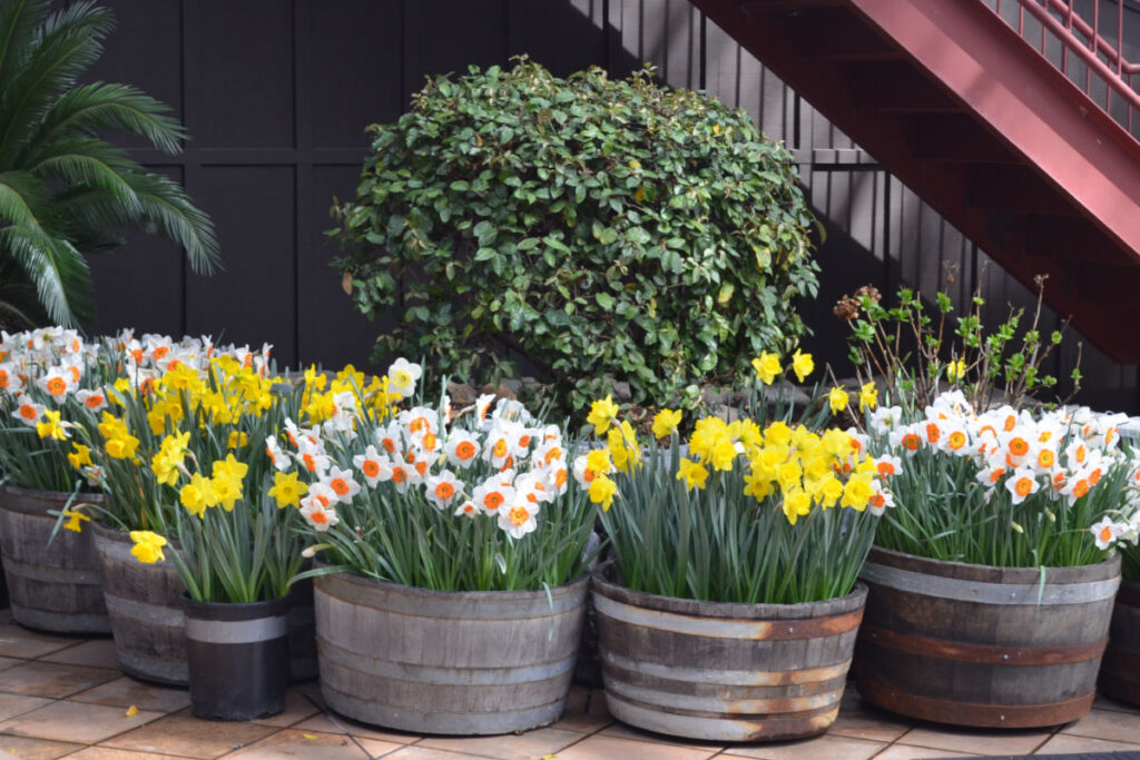 daffodils planted in containers, planting bulbs in pots